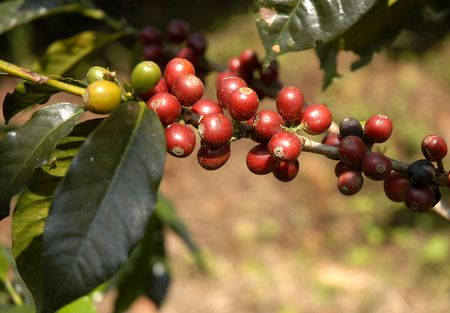 Coffee beans - Guatemala                      Stock Photo