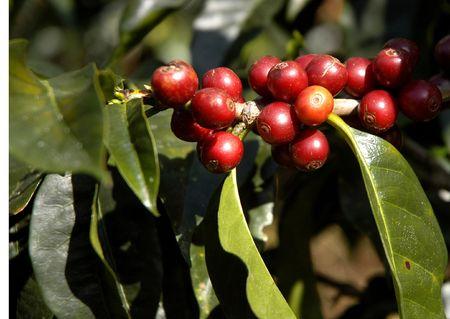 Kaffeebohnen - Guatemala  Lizenzfreie Bilder