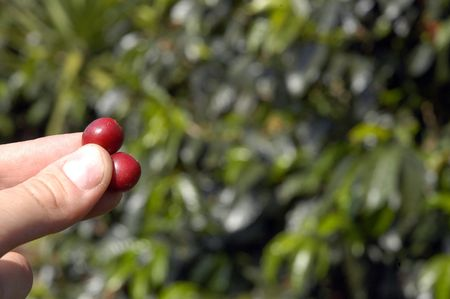Kaffeebohnen - Guatemala