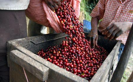 Coffee beans - Guatemala                      photo
