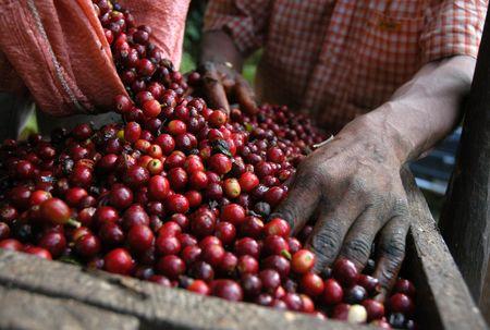 granos de cafe: Granos de caf� - Guatemala  Foto de archivo