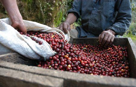 arbol de cafe: Granos de caf� - Guatemala