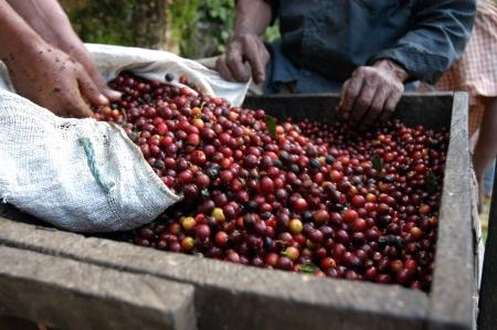 tree plantation: Coffee beans - Guatemala                      Stock Photo