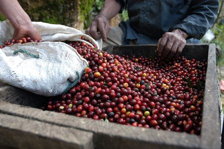 coffee tree: Coffee beans - Guatemala                      Stock Photo