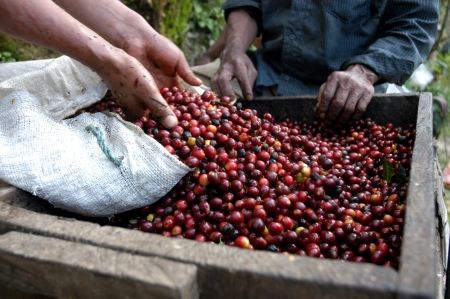 exploitation: Coffee beans - Guatemala                      Stock Photo