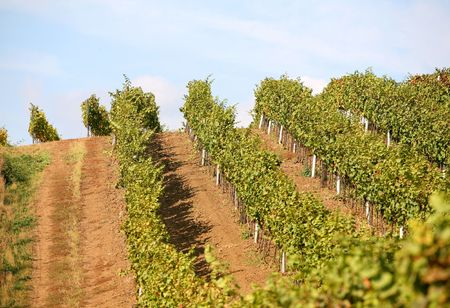 vineyard in summertime during daytime int the countryside  photo