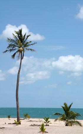 Tropic palms on a sandy beach. Caribbean sea. Belize                                  photo