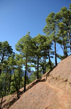 canarian: Special canarian pine-tree in national park Caldera de Taburiente, La Palma, Canarian islands