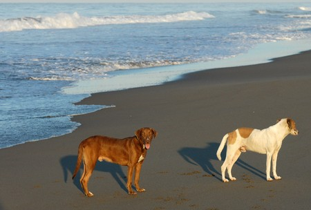 Two dogs on beach in Puerto arista, Mexico photo
