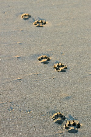 Dogs footsteps on the beach in Puerto Arista, Mexico photo