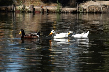A group of ducks swimming on the river in Mexico city Stock Photo - 7666090