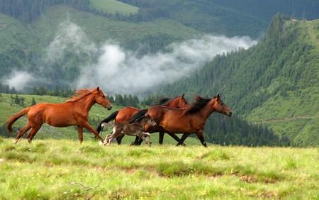 루마니아 산 Rodna의 야생마