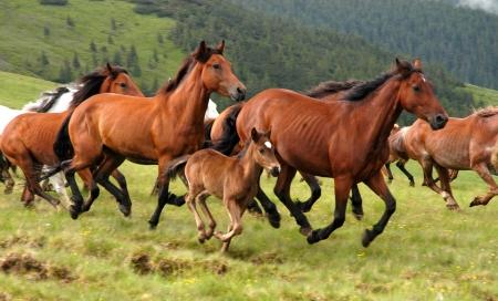 Wilde Pferde in der rumänischen Mountain Rodna                                  Lizenzfreie Bilder