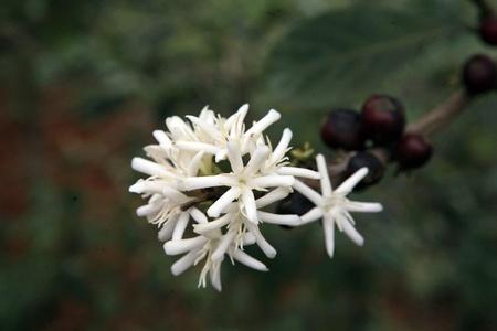 Detail der Kaffee Blossom Struktur auf Plantage Lizenzfreie Bilder