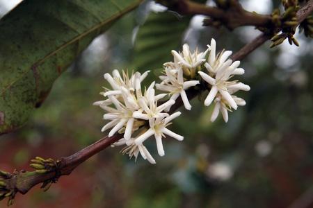 Detail of coffee blossom tree on plantation Stock Photo