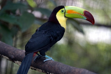 Kee billed Toucan Ramphastos Sulfuratus colorful Tucan Vogel im zoo