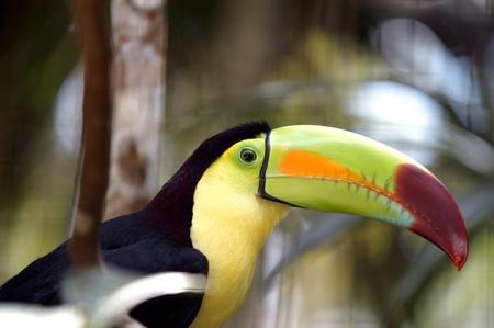 Kee billed Toucan Ramphastos sulfuratus colorful Tucan bird in zoo photo