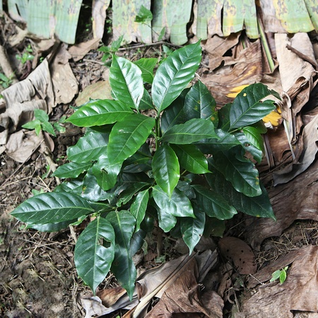 Little coffee tree on the plantation.
