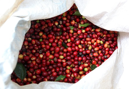 collected: Collected coffee beans in the bag.