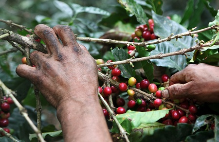gatherer: Picking coffee beans from tree.