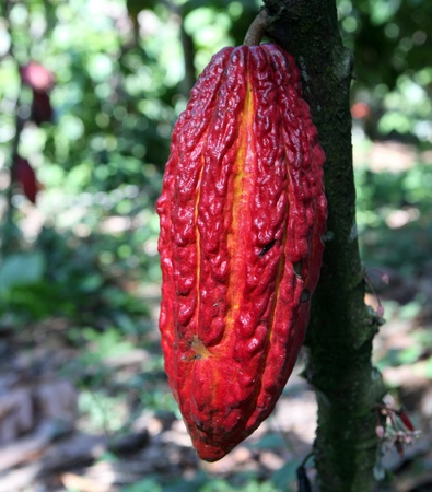 Cocoa pods on the tree, Peru photo