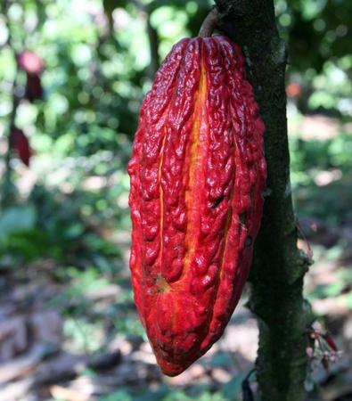 Kakaoschoten auf dem Baum, Peru
