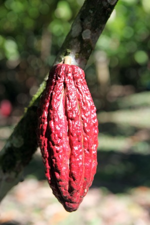Cocoa pods on the tree, Peru