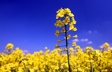 A field with flowering yellow oilseed rapeseed  photo