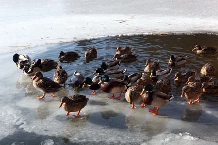 remained: Wild ducks drove strong frost in the Czech Republic up to the shore, where the surface has remained unfrozen