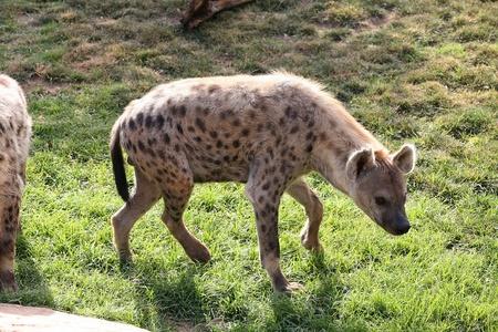 hienas: Hyena en Bioparc Valencia Foto de archivo