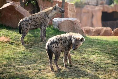 iene: Hyenas in Bioparco Valencia Archivio Fotografico