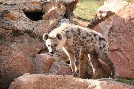hienas: Hiena en el Bioparque de Valencia