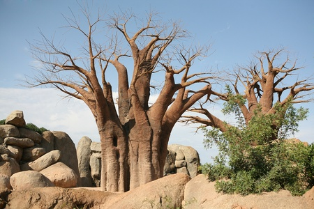 digitata: Baobab trees in Biopark Valencia Editorial