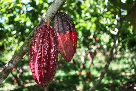 Une vue de cabosses de cacao de plus en plus sur l'arbre dans le village Huayhuantillo près de Tingo Maria au Pérou 2011