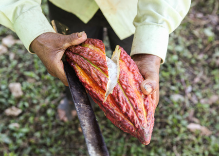 the residue: A detail view of a cut opened cocoa pod in Huayhuantillo village near Tingo Maria in Peru, 2011