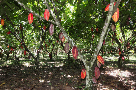 Ein Blick auf eine Kakaoplantage in Huayhuantillo Dorf in der Nähe von Tingo Maria in Peru 2011 Standard-Bild