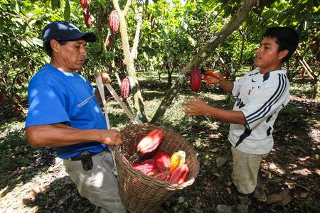 HUAYHUANTILLO, PERU - 21. Juni: Ein Blick auf Menschen, die Kakaofrüchte in Huayhuantillo Dorf in der Nähe von Tingo Maria in Peru 2011 zu sammeln.