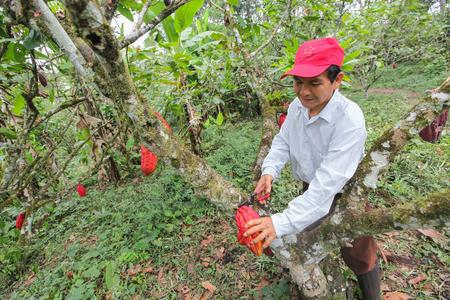 cooperativismo: Tingo Mar�a, PER� - 22 de junio: Una vista de los productores de cacao de la cooperativa Naranjillo en la selva cercana Tingo Mar�a en Per� de 2011