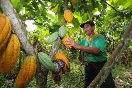 growers: TINGO MARIA, PERU - JUNE 22: A view of the cocoa growers from Naranjillo cooperative in rainforest nearby Tingo Maria in Peru, 2011 Editorial