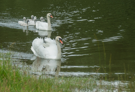 A view of happy family of swans floating on the water Stock Photo