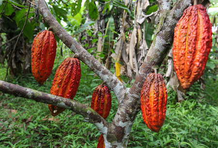 cooperativa: A view of the cocoa growers from Naranjillo cooperative in rainforest nearby Tingo Maria in Peru, 2011