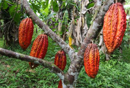 cooperativismo: Una vista de los productores de cacao de la cooperativa Naranjillo en la selva cercana Tingo María en Perú de 2011 Foto de archivo