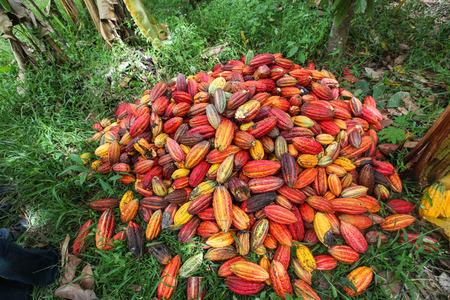 Une vue des producteurs de cacao de Naranjillo coopérative dans la forêt tropicale à proximité Tingo Maria au Pérou 2011