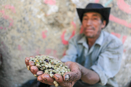 PIURA, PERU - JUNE 28: Peruvian guy is showing a handful of coffee beans near the city of Piura, region called Jijili. In the north of Peru, 2011.