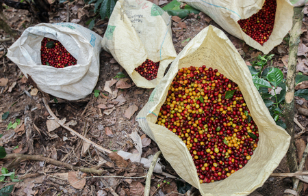Bags filled with collected coffee cherries near the city of Piura, region called Jijili. In the north of Peru, 2011.