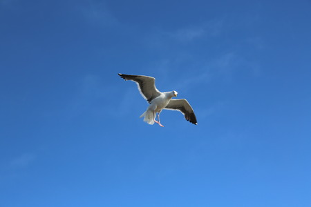 webbed legs: Seagull in the blue sky Stock Photo