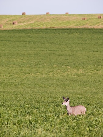 A lone mule deer stands in a field of alfalfa with round bales in the distance.