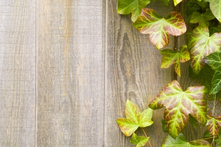 Creeping ivy on a wooden fence Standard-Bild
