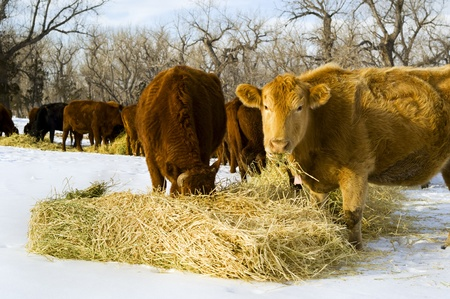 A herd of cows eat hay during a winter in Montana Stock Photo