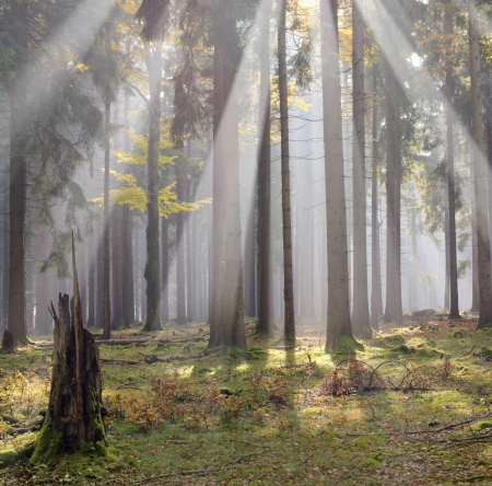 coniferous forest: Morning sun beams in the forest